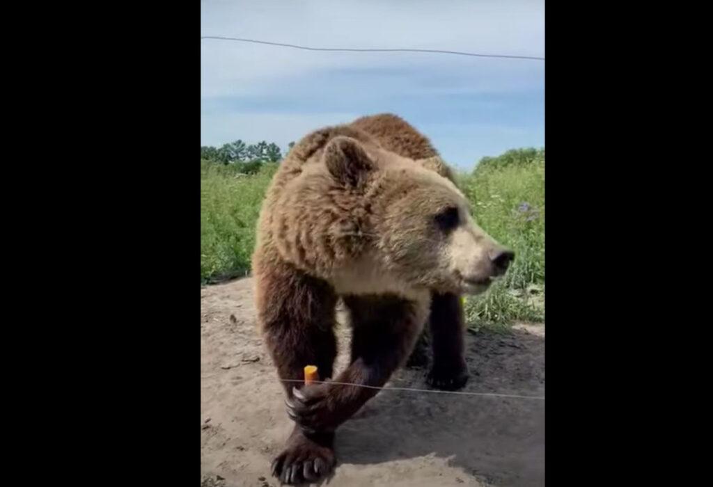 Медведь помогает нам копать колодец за небольшую плату